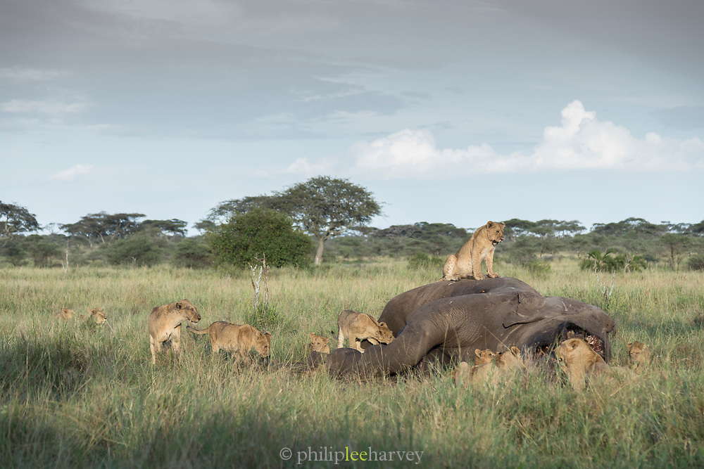 Nature photograph of a group of lions (Panthera leo) feeding on a dead elephant, Serengeti National Park, Tanzania