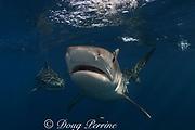 tiger shark, Galeocerdo cuvier, Aliwal Shoals, east coast of South Africa (near Durban )