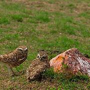 South America, Uruguay, Rocha, Parque Nacional Santa Teresa, Estacion Biologica Potrerillo de Santa Teresa, burrowing owl (Speotyto cunicularia)