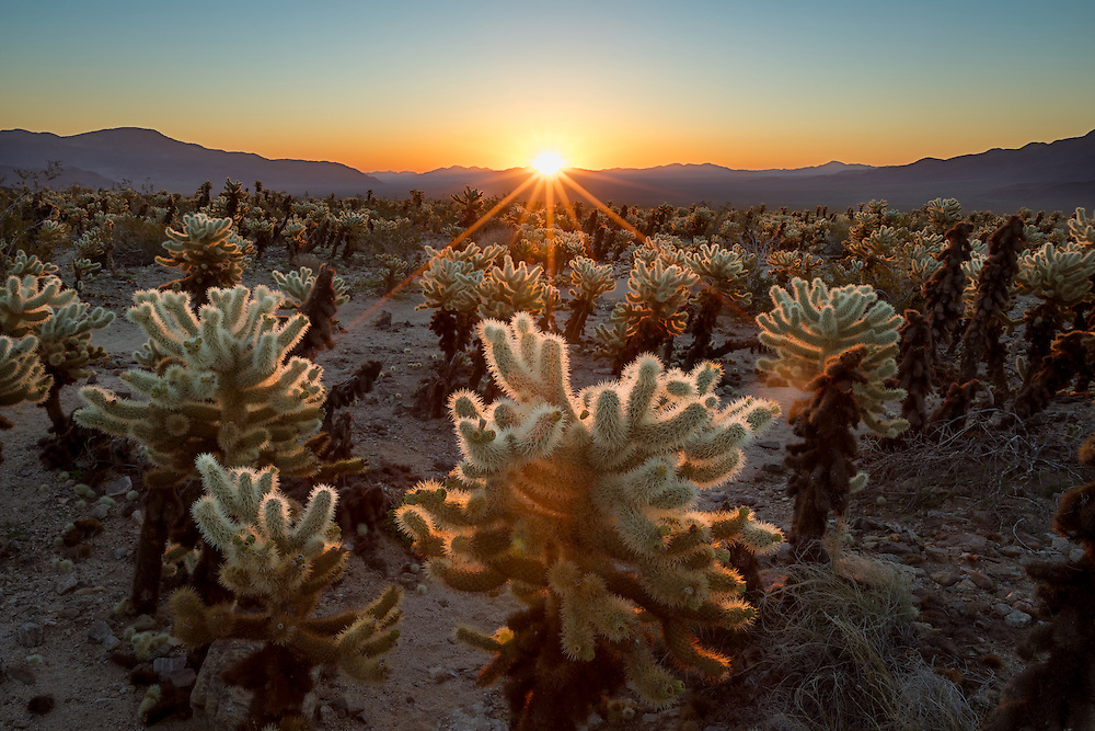 The morning sun rises upon the Cholla Garden in Joshua Tree National Park, California, giving a backlit glow to the dense concentration of teddy bear cholla.