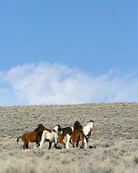 Herd of Mustangs, Farson, Wyoming