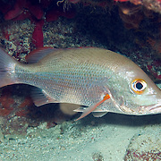 Mahogany Snapper inhabit reefs, in Tropical West Atlantic; picture taken Grand Cayman.