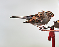 Song Sparrow (Melospiza melodia). Image taken with a Nikon D850 camera and 600 mm f/4 VR lens.