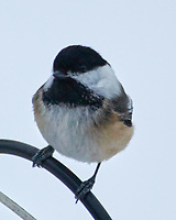 Black-capped Chickadee (Poecile atricapillus). Image taken with a Nikon N1V3 camera and 70-300 mm VR lens.