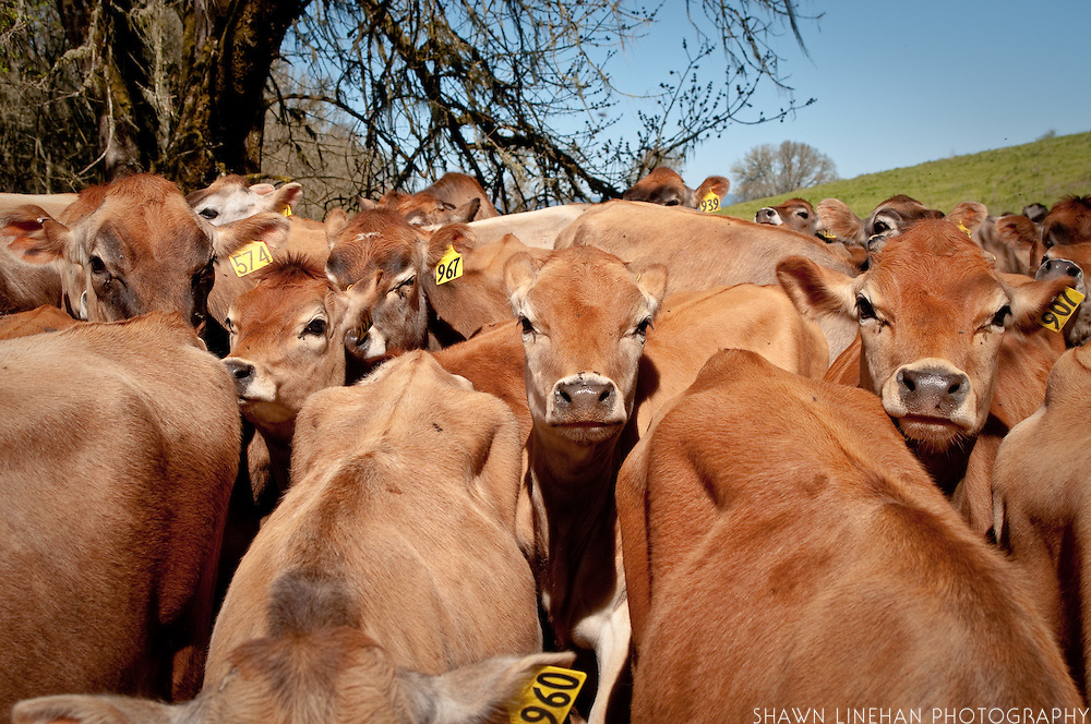 Organic Valley cows eat organic grass and are not feed antibiotics or hormones.