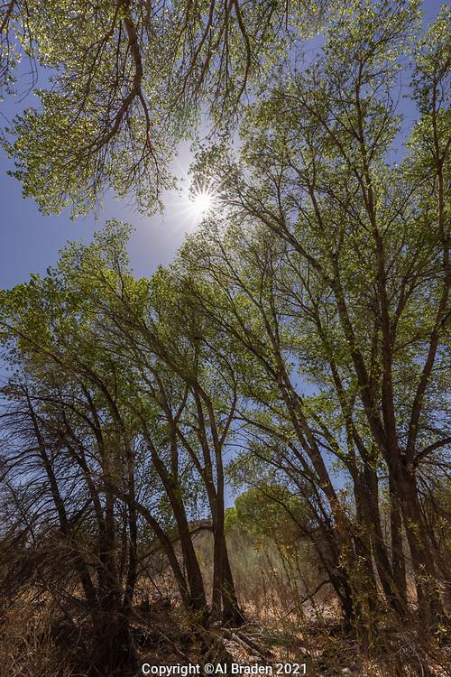 Trees along Limpia Creek