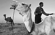 Burkinabe camel herder preparing his camels for travel in the Sahel outside Gorom Gorom, Northeastern Burkina Faso.