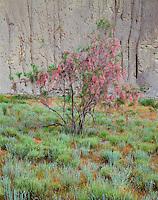 Georgia, Vashlovani National Park, Georgia, flowering Tamarisk tree (Myricaria germanica (L.)) in the Badlands