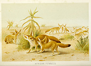 fennec fox (Vulpes zerda) [Here as African fennecs] From the book ' Royal Natural History ' Volume 1 Edited by  Richard Lydekker, Published in London by Frederick Warne & Co in 1893-1894