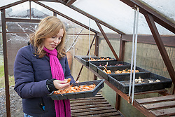 Checking stored crops of onions, shallots and garlic. Allium cepa