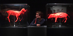 © Licensed to London News Pictures. 03/04/2012. London, UK. Anna Rain looks at a lamb and piglet. The intricate biology and physiology of animals can be explored after the process of Plastination at a new exhibition. The launch of The Natural History Museum's Animal Inside Out exhibition. The exhibition is the UK premiere from the team behind Gunther von Hagens' Body Worlds shows, with almost 100 specimens on show. Animal Inside Out runs from April 6 April to September 16 at the Natural History Museum, London. Photo credit : Stephen SImpson/LNP