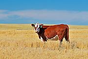 Cattle. Hereford<br /> Maple Creek<br /> Saskatchewan<br /> Canada