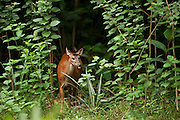 Red Brocket Deer (Mazama americana)<br /> Atta Lodge<br /> Iwokrama Forest Reserve<br /> GUYANA<br /> South America
