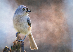 A little gray bird with an echoing voice, the Tufted Titmouse is common in eastern deciduous forests and a frequent visitor to feeders.