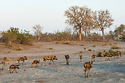 Wild dogs or painted wolves (Lycaon pictus) Savuti channel, Linyanti region.<br /> BOTSWANA. Southern Africa.<br /> STATUS: ENDANGERED. THEY ARE THE MOST ENDANGERED LARGE CARNIVORE IN AFRICA AND THE SECOND MOST ENDANGERED CANID IN THE WORLD. This is due to habitat distruction, over-hunting and rabies.<br /> HABITAT: Wide tolerance. Prefer to hunt in open plains but then take refuge in wooded areas, often in mopane forests. They are crepuscular (early morning and dusk) and diurnal but will hunt at night during a full moon. <br /> They weigh 25-30 kg's with a shoulder height of 65cm.<br /> Wild dogs are the most successful hunters in the bush and they hunt co-operatively in packs and maintain a speed of 60km p/h for about 5km. Once caught the victim in quickly torn apart and devoured to prevent hyaenas and lions from stealing the carcass. Wild dogs take care of their young and sick and will readily share their food with other pack members. The whole pack helps to raise the young which are born of the dominant pair. (alpha male and female)<br /> They contact rabies from domestic dogs as they often cross through agricultural and rural areas.