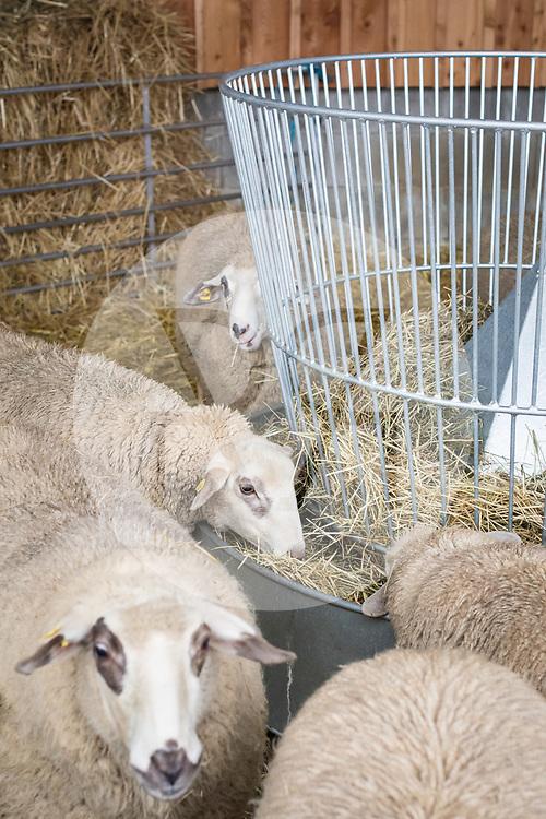 SCHWEIZ - HALLWIL - Schafe fressen Heu auf dem Haldenhof - 11. Dezember 2019 © Raphael Hünerfauth - http://huenerfauth.ch
