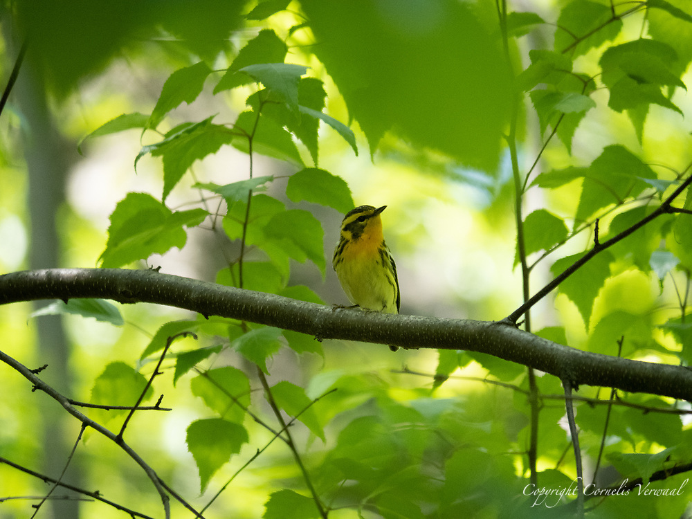 Blackburnian warbler at The Great Hill in Central Park. May 14, 2021.