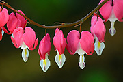 Bleeding hearts, Winnipeg, Manitoba, Canada