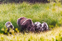 Grizzlies at the waterhole,  Grizzly 399 and her four cubs washing down the huckleberries of August.<br /> <br /> Contact for custom print options or inquiries about stock usage  - dh@theholepicture.com