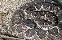 Southern pacific rattlesnake (Crotalus oreganus helleri) in Anza Borrego Desert State Park, California.