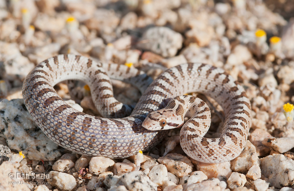Juvenile Mojave glossy snake, Arizona elegans candida (Arizona occidentalis candida). The snake's stomach area is distended, exposing the skin between the scales, because it has recently swallowed a lizard or small rodent. Alabama Hills near Lone Pine, California