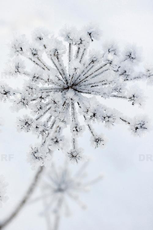 Noorwegen Gol 22 december 2008 20081222 Foto: David Rozing .Wintertafereel, ijs rijp op bloem .Wintertime, icy flower ..Foto: David Rozing