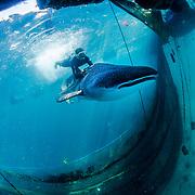 Whale Shark Release