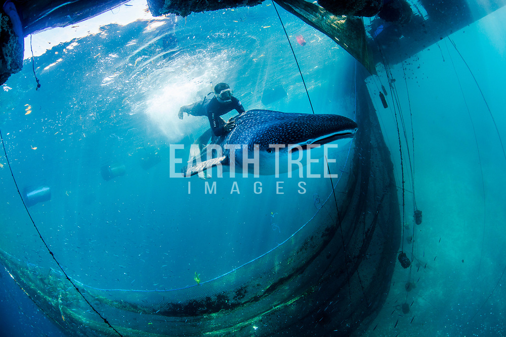 whale sharks are released from sea pens, Ambon, Indonesia, 27th May 2016. The whale sharks were destined for ocean theme parks in China according to WCS.  After an 18 month long investigation WCS crimes unit supported the Ministry of Marine Affairs and Fisheries (MMAF) and the Indonesian Marine Police (POLAIR) arrested   major supplier of large marine megafauna to the international aquarium.  Photo: Paul Hilton for WCS  in sea pens, Ambon, Indonesia, 27th May 2016. Photo: Paul Hilton for WCS