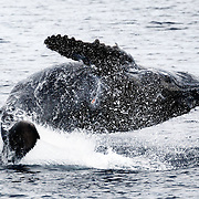 This was my ninth and final sighting of injured male humpback whale calf Tahafa (201114). I took this photograph in Vava'u, after seeing this calf and his mother twice at Toku Island, which is approximately 40km away. By this stage, the calf seems to have completely overcome the trauma of being attacked and injured at an early age. He was playful, energetic, and proactively sought attention. His mother was relaxed throughout this final encounter.