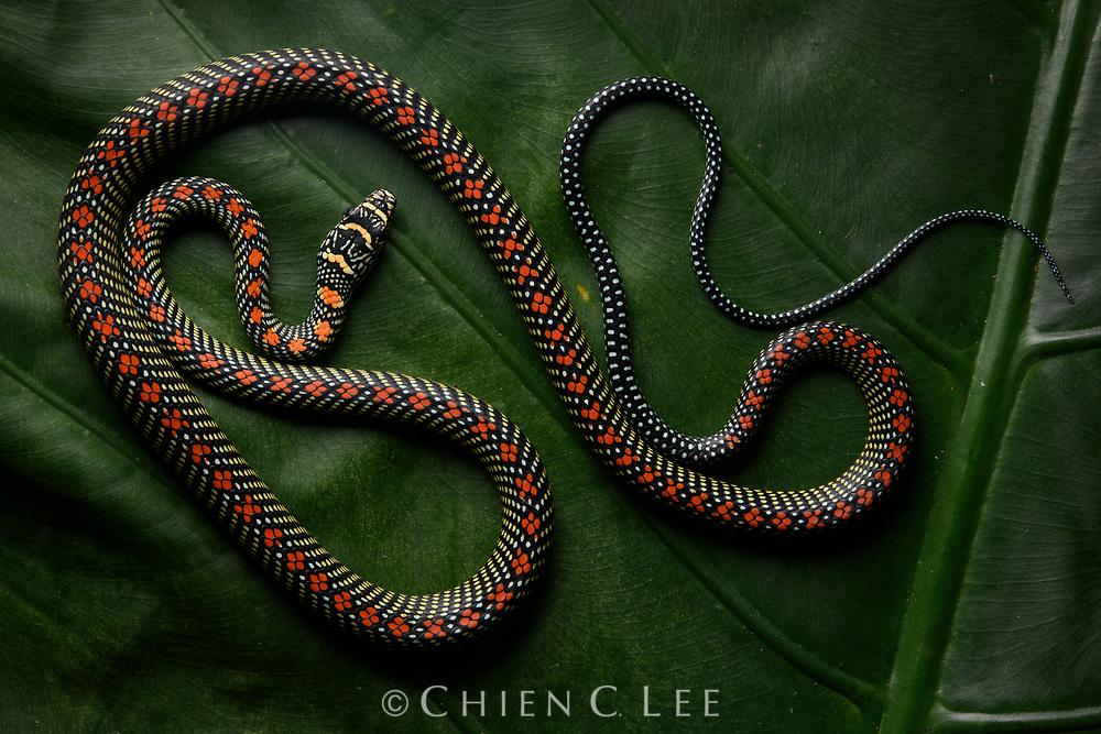 Paradise Flying Snake (Chrysopelea paradisi). Sarawak, Malaysia (Borneo).