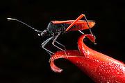 Big-legged Bug or Squash Bug (Coreidae) on Heliconia Flower<br /> Yasuni National Park, Amazon Rainforest<br /> ECUADOR. South America