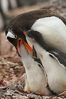 Gentoo Penguin (Pygoscelis papua) feeding its young.  Port Lockroy, Wiencke Island.