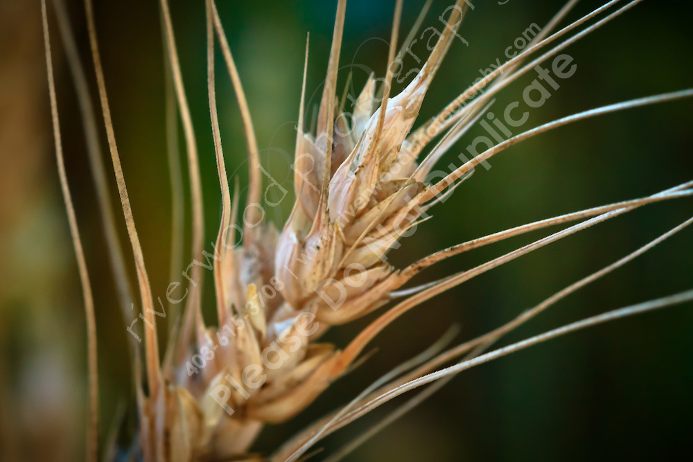 Closeup image of a stalk of wheat in a farm field.<br /> <br /> ©2010, Sean Phillips<br /> http://www.RiverwoodPhotography.com
