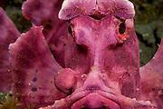 Paddle-flap Scorpionfish (Rhinopias eschmeyeri) photographed in Lembeh Strait, Indonesia.
