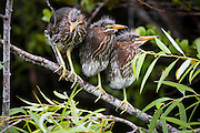 Green heron (Butorides virescens) chicks stand on a branch together along the Anhinga Trail, Everglades National Park, Florida.