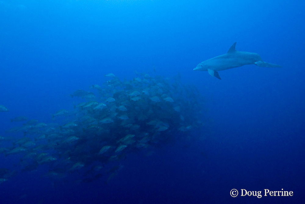 bottlenose dolphin, Tursiops truncatus, chases a spawning aggregation of dog snappers, Lutjanus jocu, Gladden Spit & Silk Cayes Marine Reserve, off Placencia,  Belize, Central America ( Caribbean Sea )