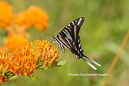 03006-00615 Zebra Swallowtail (Protographium marcellus) on Butterfly Milkweed (Asclepias tuberosa) Marion Co. IL