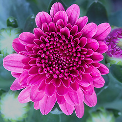 A beautiful pink flower with pedals that have a fun, artistic, geometry feel.