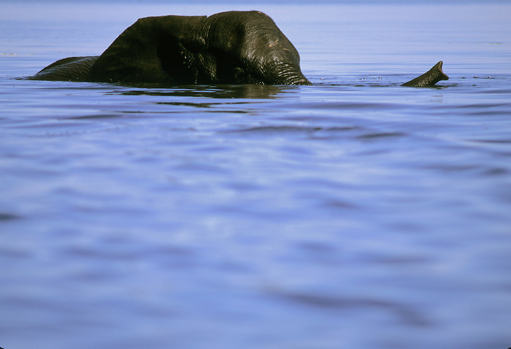 An elephant swimming through a watering hole.