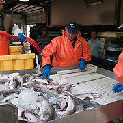 """Off loading catch from the trawler """"Harmony"""" in Gloucester, MA. Captain David Haggerty and crew brought in 60,000 lbs of ground fish -- pollack, haddock, and cod."""