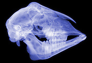 X-ray of A sheep skull (Ovis sp.)