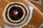 Macro abstract image of the underwing eye-spot of a blue morpho butterfly (Morpho peleides) at the Long Sutton Butterfly and Wildlife Park. Lincolnshire