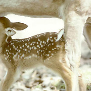 Whitetail Deer, (Odocoileus virginianus) Spotted newborn fawn excitedly nursing from doe.