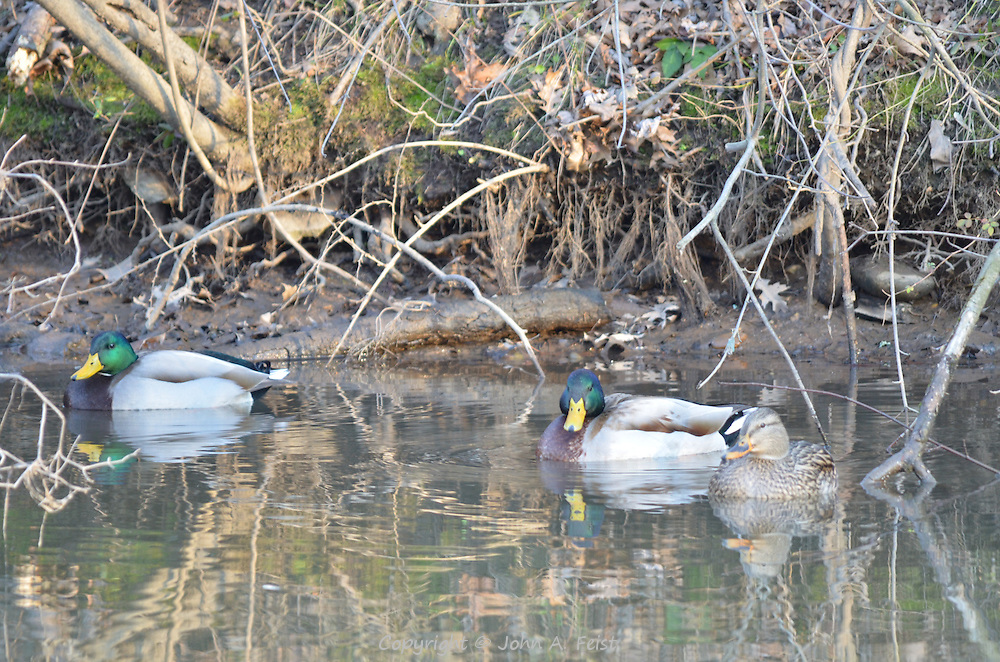 Three ducks (one duck, 2 drakes) floating on the D and R Canal in Hillsborough NJ as the sun is going down