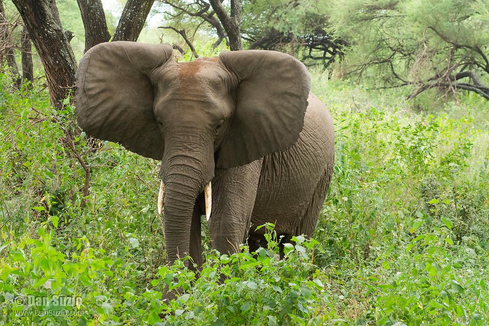 African Elephant, Loxodonta africana, in Lake Manyara National Park, Tanzania