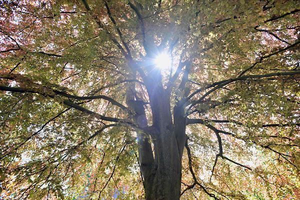 Nederland, Ubbergen, 7-5-2012De lentezon schijnt door het gebladerte van een grote boom. Die staat op een kerkhof.Foto: Flip Franssen/Hollandse Hoogte