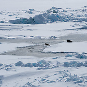 Bearded Seal (Erignathus barbatus) a pair of a adults lies next to an open water lead on the Beaufort Sea, Alaska.