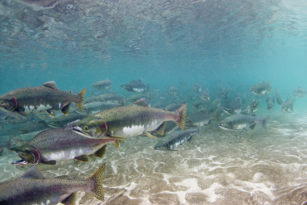 USA, Alaska, Katmai National Park, Kinak Bay, Underwater view of Spawning Pink Salmon (Oncorhynchus gorbuscha) and Chum Salmon (Oncorhynchus keta) in shallow river on autumn afternoon