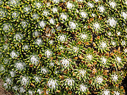 A spiny succulent alpine plant grows on the Loma del Pliegue Tumbada trail in Los Glaciares National Park near El Chaltén, in the southern Andes mountains, Argentina, South America. The foot of South America is known as Patagonia, a name derived from coastal giants, Patagão or Patagoni, who were reported by Magellan's 1520s voyage circumnavigating the world and were actually Tehuelche native people who averaged 25 cm (or 10 inches) taller than the Spaniards.