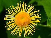 Close-up of a single yellow flower of Inula magnifica growing in West Acre Gardens in Norfolk